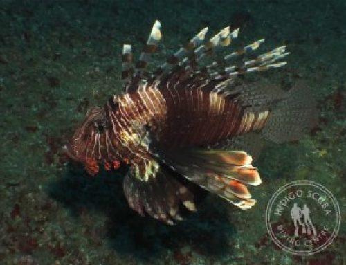 Latest Video:  Indigo Scuba Mozambique Dive Trip Promo