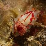 Fiery Nudibranch