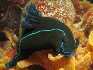 Black Nudibranch