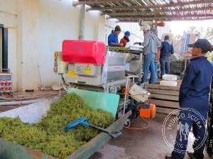 Sorting the Grapes at Paul Cluver Wines