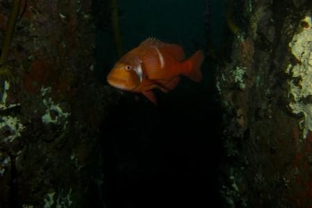 Dive Site Spotlight:  Shark Alley, Simon's Town