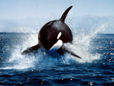 Post image for It's Orca Time in False Bay again!