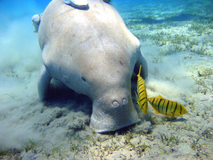 Dugong Dugon - Marsa Alam Egypt