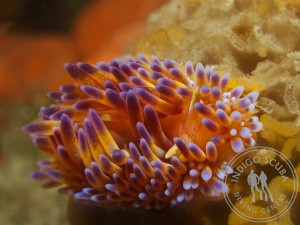 Gasflame Nudibranch