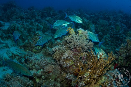 Red Sea Reefs – Shark and Yolanda, the best reef dive in the world!