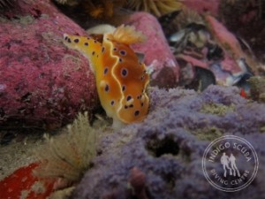 Ink-spot Nudibranch