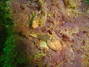 Smoothskin Scorpion fish at ark rock