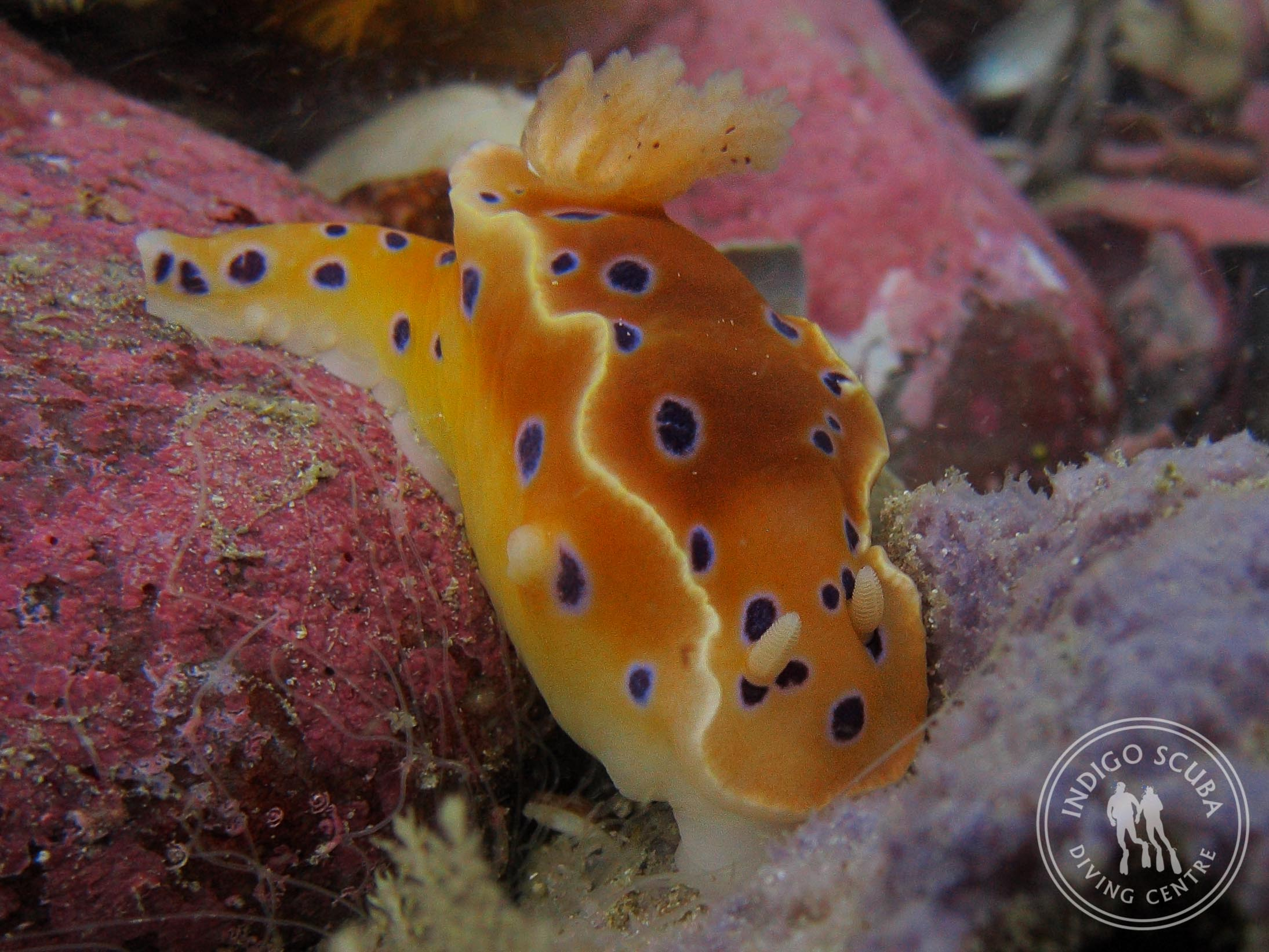 Inkspot Nudibranch