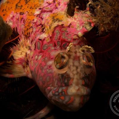 Scuba Diving Strand Reefs - super klipfish at Stinky's