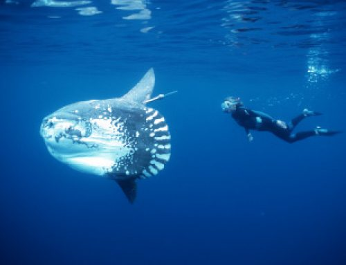 20 Things About Sunfish You Might Not Have Known