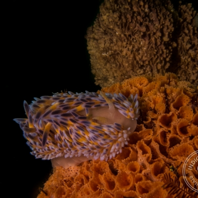 Scuba Diving Strand Reefs - gasflame nudibranch at Stinky's