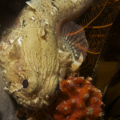 Scuba Diving Strand Reefs - Pleated Toadfish at The Flats