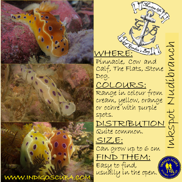 Inkspot Nudibranch