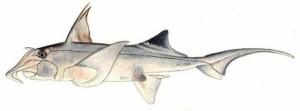 St Josephs Shark