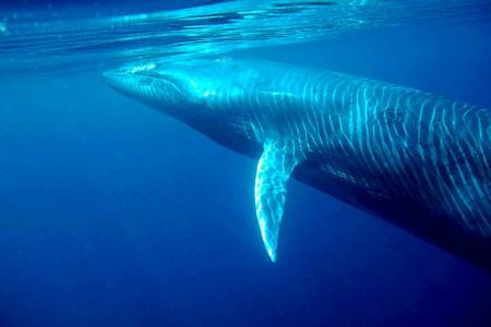 20 Fascinating Facts about Bryde's Whales