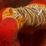 Scribbled Nudibranch
