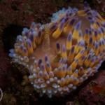 Gasflame Nudibranch