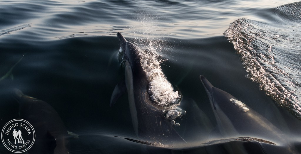 Common dolphins up close