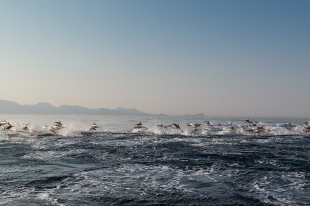 15 Facts About False Bay's Common Dolphins