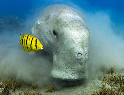 10 Remarkable Differences Between Manatees and Dugongs