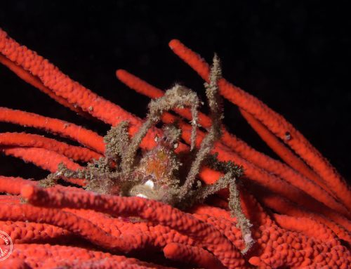 Creature Feature – Hotlips Spider Crabs