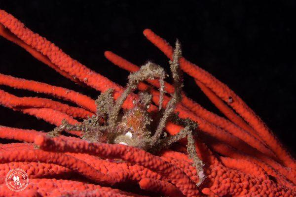hotlips spider crab