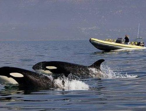 Orcas spotted in False Bay