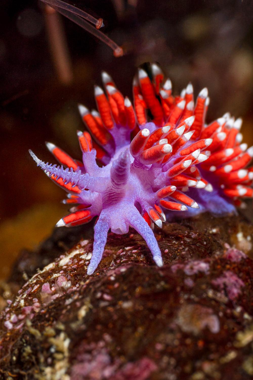 purple-lady-nudibranch
