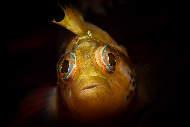 yellow-speckled-klipfish-gordons-bay