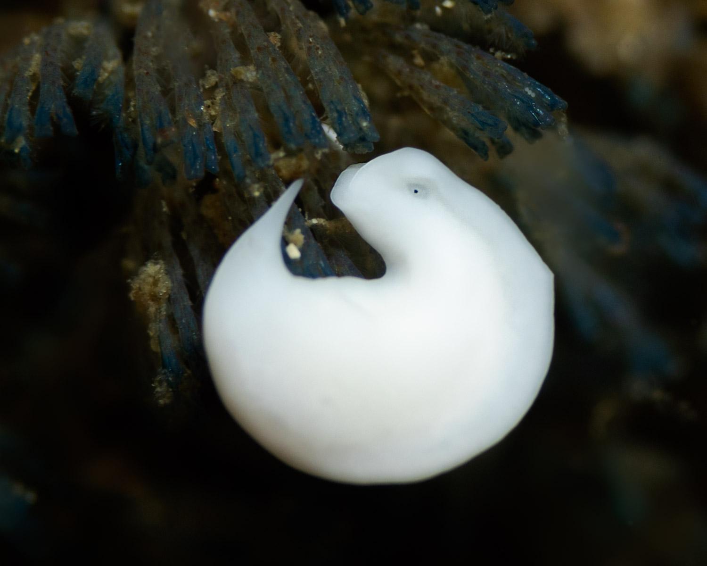 Acoel-flatworm