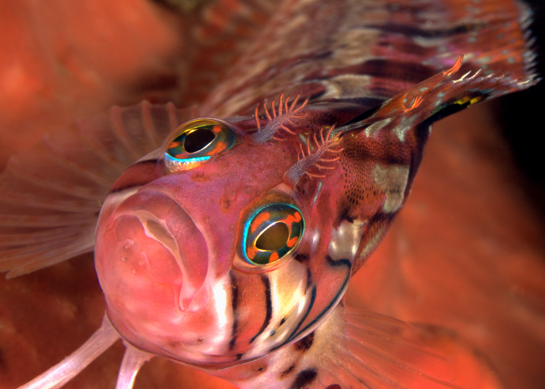 speckled-klipfish-gordons-bay