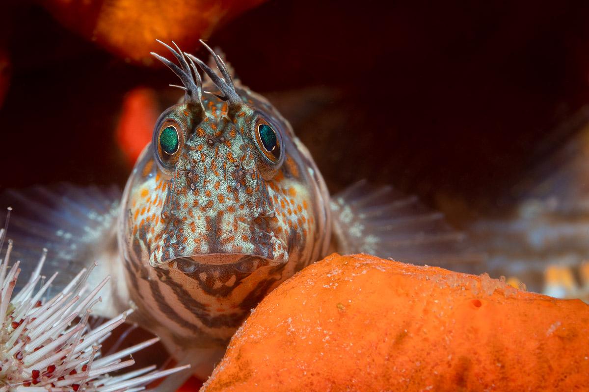 Horned Blenny on the reef in Gordon's Bay