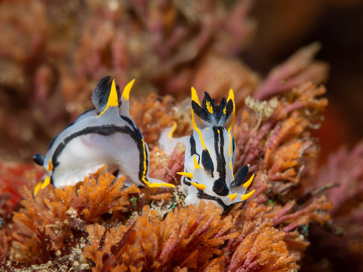 crowned nudibranchs in Gordon's Bay