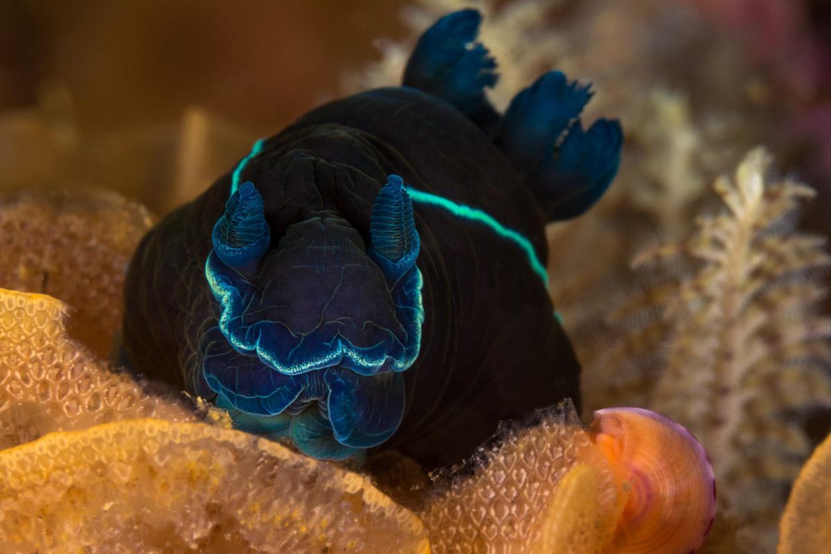 black nudibranch in Gordon's Bay