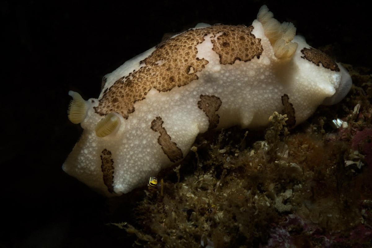 mandela nudibranch in Gordon's Bay