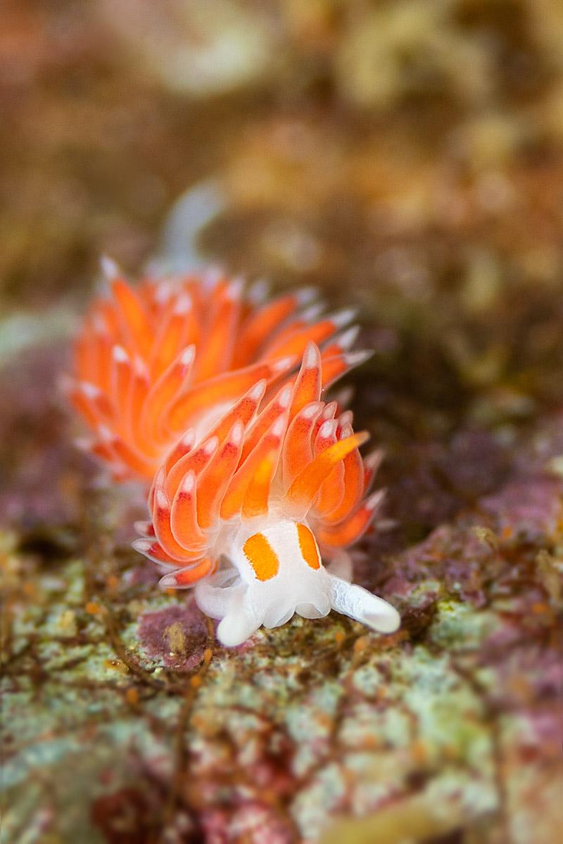 Elegant Nudibranch in Gordon's Bay