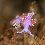 Purple Lady nudibranch in Gordon's Bay