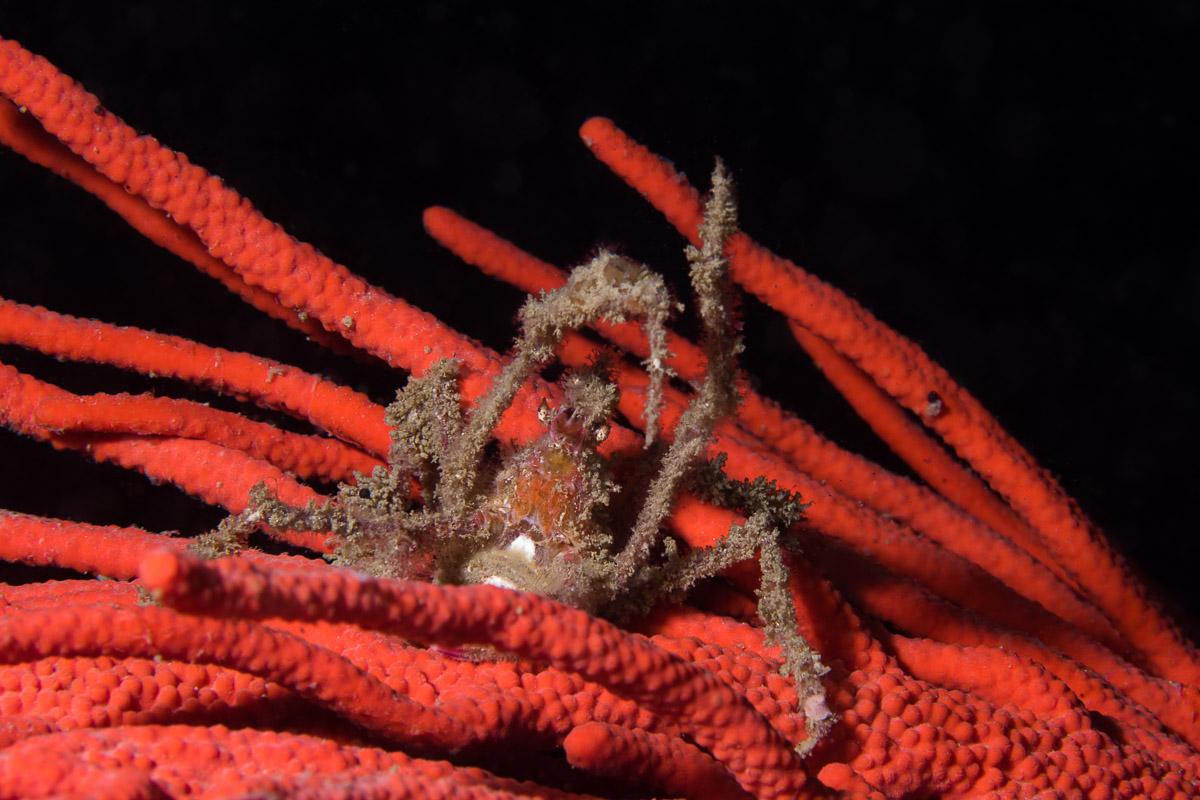 Spider Crab in Gordons Bay